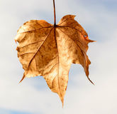 Autumn leaf. In a beautiful autumn afternoon with blue sky and withe clouds in the background Royalty Free Stock Photo