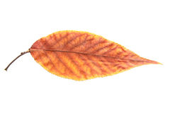 Autumn leaf. Beautiful Autumn dry leaf isolated on the white background Stock Images
