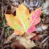 Autumn Leaf. A beautiful tri-colored leaf Royalty Free Stock Image
