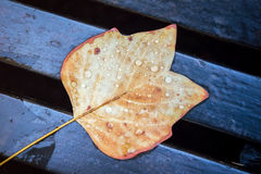 Autumn Leaf on Bench. A single autumn leaf covered in water droplets, lying on a wooden bench Stock Photo