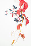 Autumn leaf with berries isolated Stock Photo