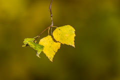 Autumn,leaf,birch, Royalty Free Stock Photo