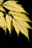 Autumn leaf, black background. Autumn leaf isolated on a black background shot in natural daylight. Vertical format Stock Photography