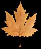 Autumn leaf on a black background Stock Photos