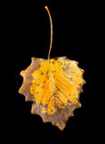 Autumn leaf on a black background Stock Photography