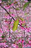 Autumn  leaf on the blossoming Sakura. Royalty Free Stock Photo