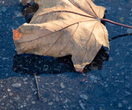 Autumn leaf blown from a tree Royalty Free Stock Photography