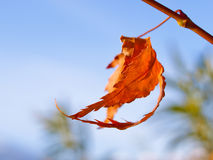Autumn leaf and blue sky. A shot of a beautiful leaf of a maple tree royalty free stock photos