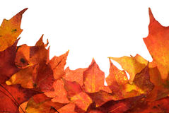 Autumn leaf border. Autumn leaves border on a white background with copy space Stock Photo