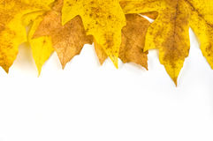 Autumn leaf border. Gold and yellow fall leaves border isolated on white with space for copy Stock Photo