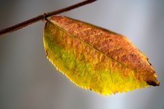 Autumn Leaf On The Branch arkivfoton