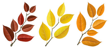 Autumn leaf branch set. Autumn yellow, orange and red leaf set on branches,  on white. Realistic vector illustration for autumn and fall design and decoration Royalty Free Stock Images