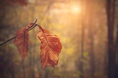 Autumn leaf on branch at sunset Stock Image