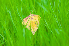 Autumn leaf on the bright grass. Desktop green grass and yellow leaves Stock Photos