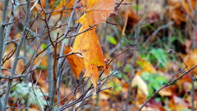 Autumn leaf on bush with frozen drop of water close-up stock video