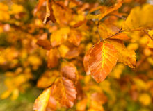 Autumn Leaf. On a bush in the autumn sunlight Stock Photos