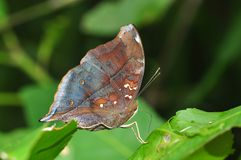 Autumn Leaf butterfly. Of Thailand background Royalty Free Stock Images