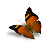 Autumn leaf butterfly, the beautiful flying black and orange but Stock Images