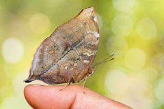 Autumn Leaf butterfly Stock Images