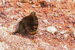 Autumn Leaf butterfly Stock Photo