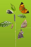 Autumn Leaf butterfly life cycle Royalty Free Stock Photo