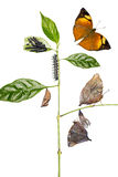 Autumn Leaf butterfly life cycle Stock Images