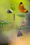 Autumn Leaf butterfly life cycle Stock Photos