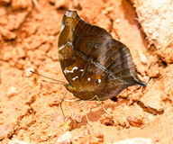 The autumn leaf butterfly Stock Image