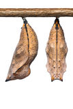 Autumn Leaf butterfly pupae Stock Photo