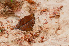 The autumn leaf butterfly Royalty Free Stock Photo