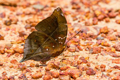 The autumn leaf butterfly Stock Photo
