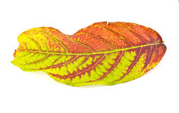 Autumn leaf of Cashew NutTree. An autumn leaf of Cashew Nut Tree on white background Stock Images