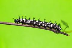 Autumn Leaf caterpillar Stock Photos