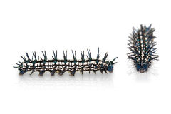 Autumn Leaf caterpillar Royalty Free Stock Images