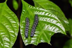Autumn Leaf caterpillars Royalty Free Stock Photo