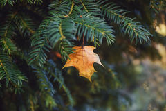 Autumn leaf caught on the branch of a coniferous tree. Stock Images