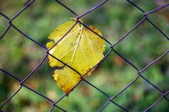 Autumn leaf caught in chain link fence. Yellow fall leaf trapped in chain link fence, dry fall leaf Royalty Free Stock Image