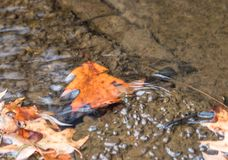 Autumn Leaf Caught dans un remous de l'eau image libre de droits