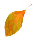 Autumn Leaf Changing Color Stock Image