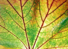 Autumn Leaf Changing Colors Royalty Free Stock Photos