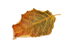 Autumn leaf. Of cherry tree isolated on white background Stock Photography