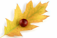 Autumn leaf and chestnut Royalty Free Stock Photo