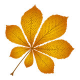 Autumn leaf chestnut. On a white background Royalty Free Stock Photo