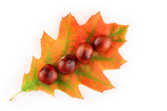 Autumn leaf and chestnuts Stock Image