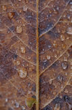 Autumn leaf close up. Royalty Free Stock Image