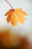 Autumn leaf. Close up of autumn leafe with copy space stock photo
