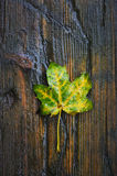 The autumn leaf Stock Photos