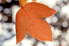 Autumn leaf close-up, venation details on bokeh blurred backgrou. Nd Royalty Free Stock Image
