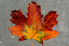 Autumn Leaf Closeup Fotografia Stock