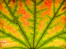 Autumn leaf closeup Royalty Free Stock Photo